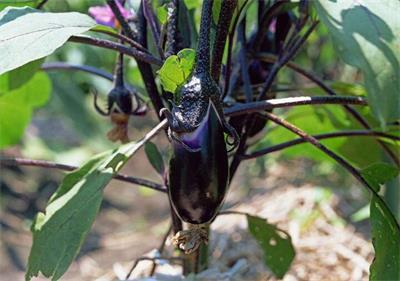 秋季种植茄子需怎样管理