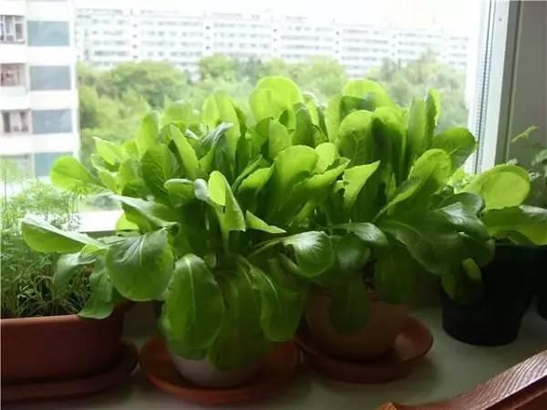 朋友在小窗台上种的11种蔬菜,冬天都不用出门买菜