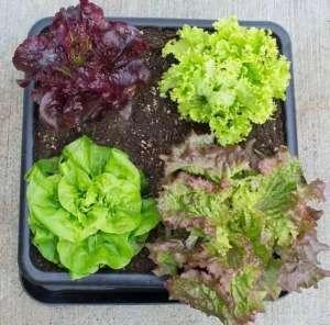 种这11种蔬菜盆栽 冬天都不用出门买菜